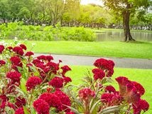 Field of red Cockscomp or Crested celosia blossom on green grass lawn beside walkway, trees and lake on background stock photos