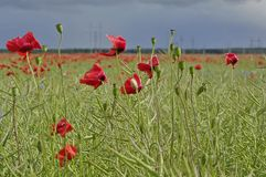 Field of red corn poppy flowers Stock Images