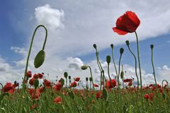 Field of red corn poppy flowers Royalty Free Stock Images