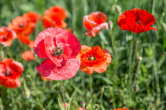 Field of red dainty poppies. Stock Images