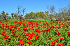 Field of red flowers Stock Image