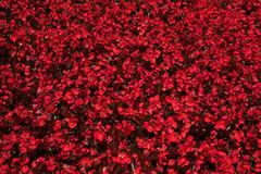 Field of red flowers. Field of red spring flowers Royalty Free Stock Photo