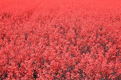 Field with red flowers Stock Image
