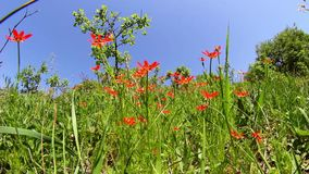 Field of red flowers stock footage