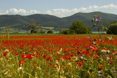 Field of red flowers that brightens the eye stock image