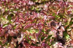 Field of Red and Green Frisee lettuce Royalty Free Stock Photo