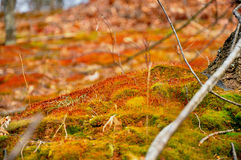 Field of Red Haired Moss. A field of red haired moss on a hill next to a forest in the winter stock image
