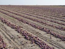 Field of red onions Royalty Free Stock Photos