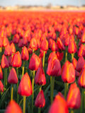 Field of red orange tulips Royalty Free Stock Photo