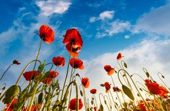 Field of red papaver flower shot from below. Field of red papaver flower with sunburst shot from below. beautiful nature background against the blue sky royalty free stock image
