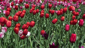 Field of red and pink  tulips blooming stock footage