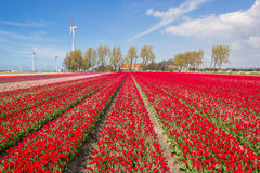 Field of red and pink tulips and a farm Stock Images