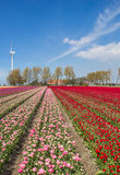 Field of red and pink tulips and a farm Royalty Free Stock Photography