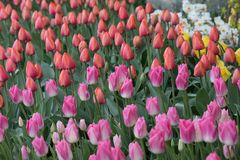 Field of red and pink tulips royalty free stock photo