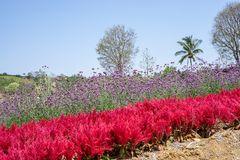 Field of red Plumed Celusia or Wool Flower and purple Vervian or Verbena flower blossom on green leaves under blue sky stock image