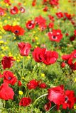 Field of red poppies. Red poppies in a forest glade, spring flowering in the Lower Galilee, Israel royalty free stock photography