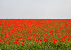Field of Red Poppies Stock Photography