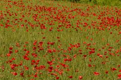 Field of red poppies stock images