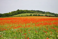 Field of Red Poppies Stock Image