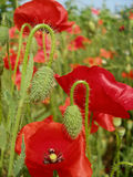 Field of the red poppies Royalty Free Stock Photo