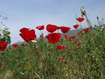 Field of red poppies. Red poppies growing in a field, blue sky stock photo