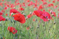 Field of Red Poppies Royalty Free Stock Image
