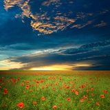 Field with red poppies Stock Photography