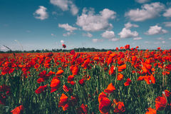 Field of red poppies against the blue sky scenic landscape Stock Photography