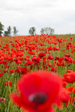 A field of red poppies against cloudy summer sky Royalty Free Stock Photos