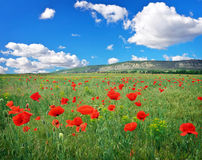 Field with red poppies. Stock Image
