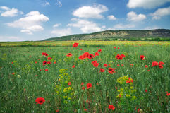 Field with red poppies. Royalty Free Stock Photos