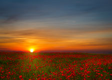 Field of red poppies. Beautiful poppy field landscape during sunset with dramatic sky Royalty Free Stock Image