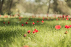 Field red poppies blooming Royalty Free Stock Image