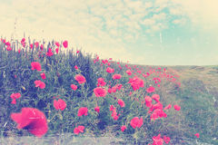 Field of red poppies,vintage Stock Photography