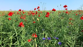 Field with red poppies and blue cornflowers stock video