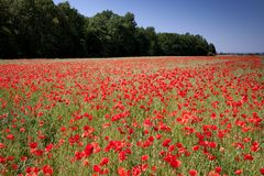 Field of red poppies with blue sky and forest in the background Royalty Free Stock Photography