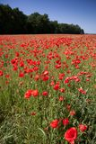 Field of red poppies with blue sky and forest in the background Stock Photo