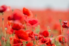 Field of red poppies. A field of red poppies in a day large among greenery Stock Images