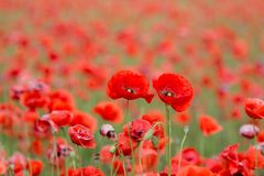 Field of red poppies. A field of red poppies in a day large among greenery Stock Photography