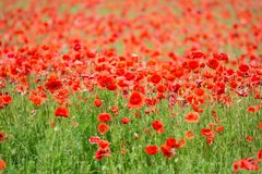 Field of red poppies. A field of red poppies in a day large among greenery Royalty Free Stock Images