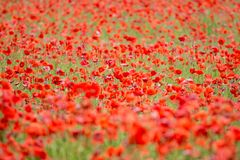Field of red poppies. A field of red poppies in a day large among greenery Royalty Free Stock Photography