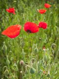 Field with red poppies Royalty Free Stock Photo