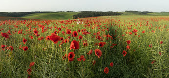 A Field Of Red Poppies Flowers Stock Photos