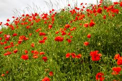 Field red poppies grow on the slope along the road Royalty Free Stock Images