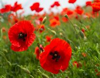 Field red poppies grow on the slope along the road Stock Images