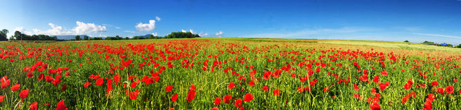 Field with red poppies - panoramic photo Royalty Free Stock Images