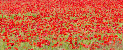 Field of red poppies (Papaver rhoeas) Royalty Free Stock Image