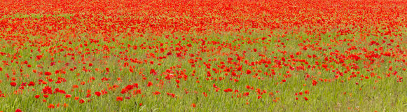 Field of red poppies (Papaver rhoeas) Stock Photography