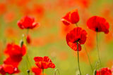 Field of red poppies. Red poppies on spring meadow Royalty Free Stock Photo