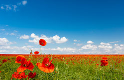Field of red poppies. Red poppies on spring meadow Royalty Free Stock Images